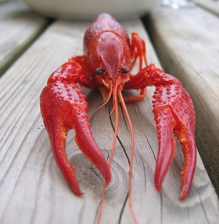 lobster by tuppus, flickr